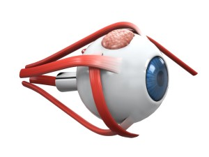 How the Eye Muscles Affect Vision Health